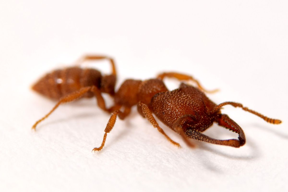 The Dracula Ant's Lightning Mandibles Make It the Fastest Animal in the World