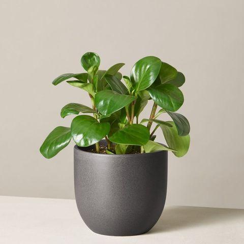 the sill peperomia obtusifolia