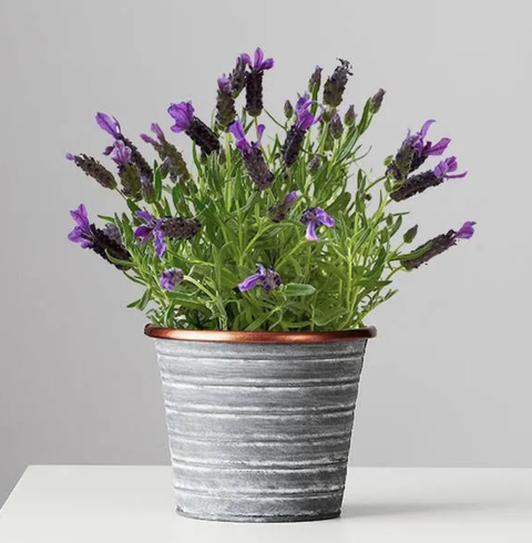 lavender house plants that help you sleep
