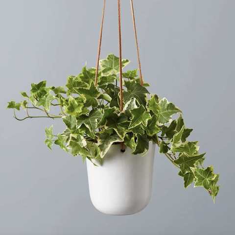 english ivy houseplant that helps you sleep