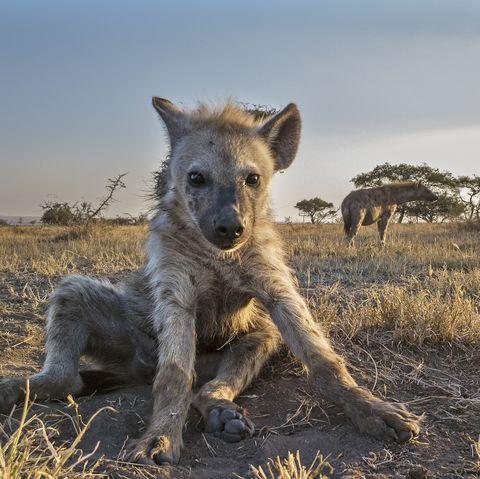 Mammal, Vertebrate, Hyena, Wildlife, Spotted hyena, Terrestrial animal, Canidae, Carnivore, Savanna, Safari,