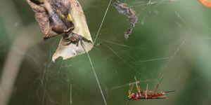 zombie wasp spider