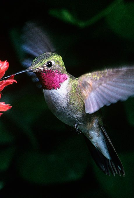 hummingbird feeding from a flower