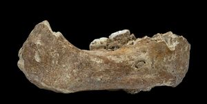 denisovan mandible