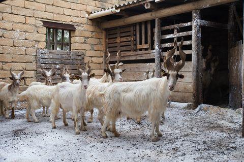 Goats, Mammal, Goat, Herd, Cow-goat family, Livestock, Mountain goat, Horn, Bovine, Fur,