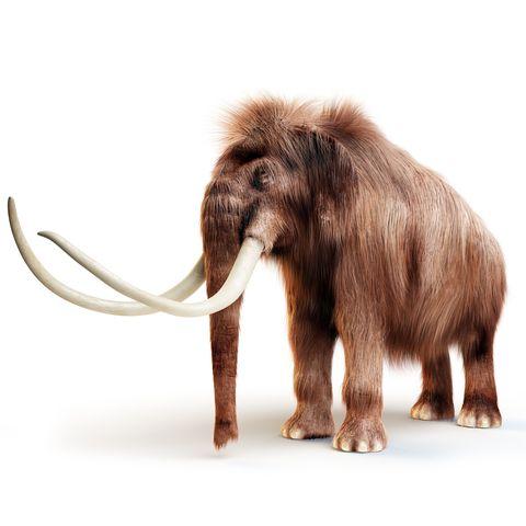 Elephants and Mammoths, Elephant, Mammal, Vertebrate, Mammoth, Indian elephant, Terrestrial animal, Animal figure, Wildlife, African elephant,