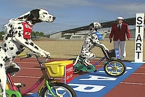 Bike Racing Dalmations