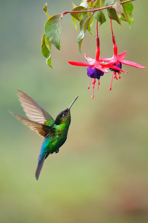 Bird, Hummingbird, Beak, Wing, Coraciiformes, Rufous Hummingbird, Plant, Flower, Ruby-throated hummingbird, Pollinator,