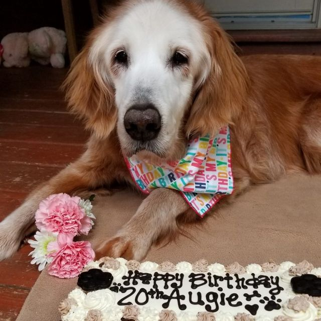 augie the oldest golden retriever in history
