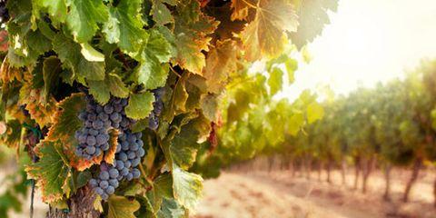 vineyard_0.jpg