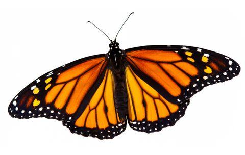 Saving Butterflies Is No Flight of Fancy