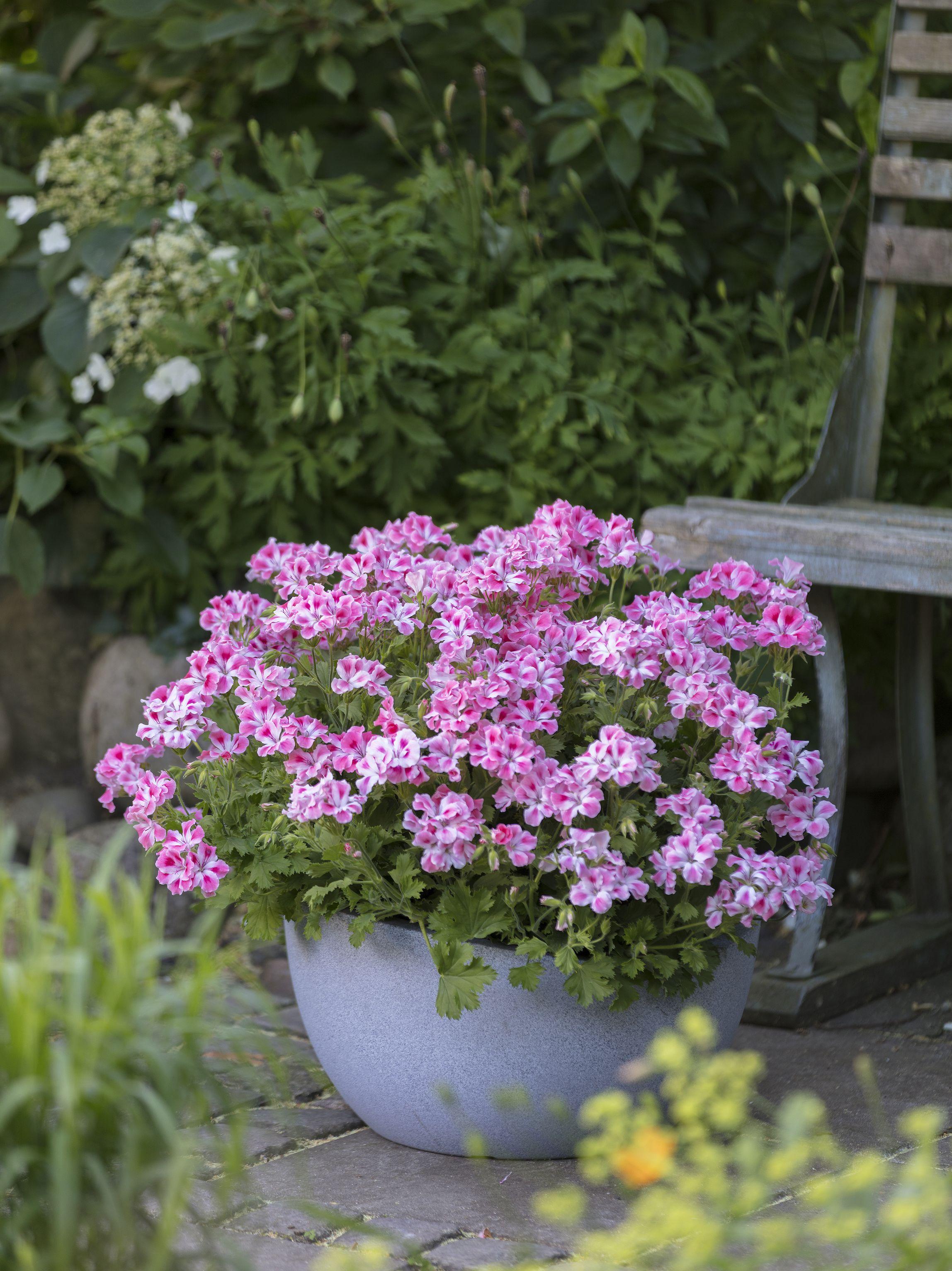 Geraniums in planter in garden