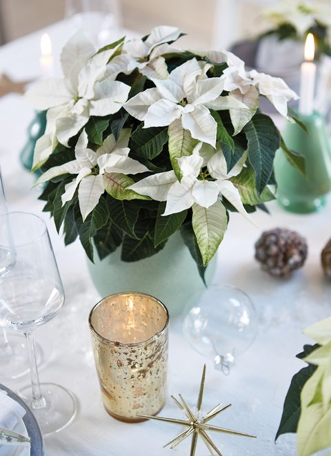 Poinsettia Care Tips: 13 Golden Rules For A Poinsettia Plant