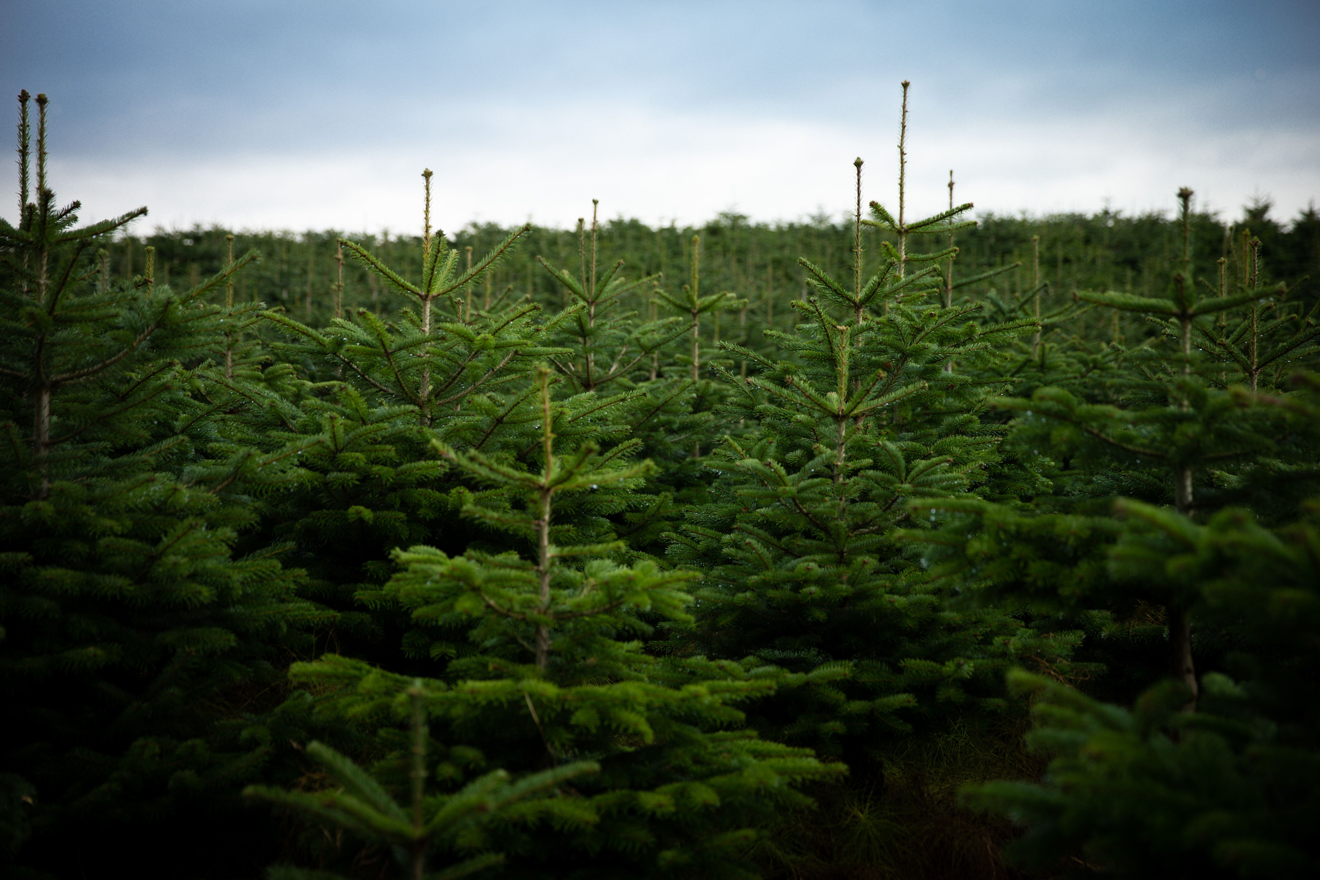 Where Did Christmas Come From.This Is Where Our Christmas Trees Come From