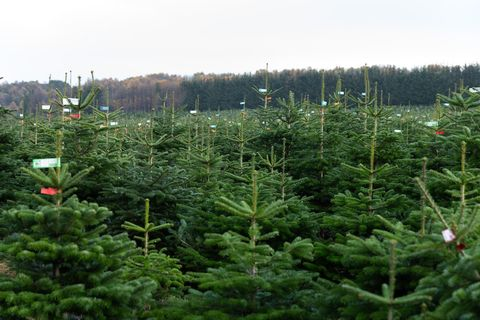 Real Christmas Trees Near Me.Lidl Is Now Selling Real British Christmas Trees Lidl Uk
