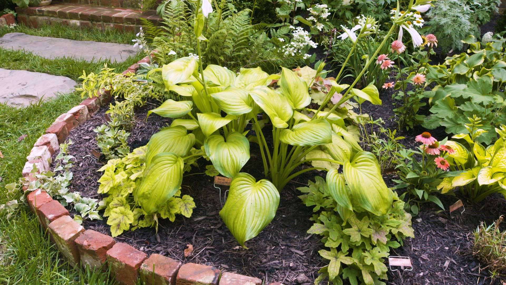 What To Know About Hostas Planting Watering And Snail Proofing