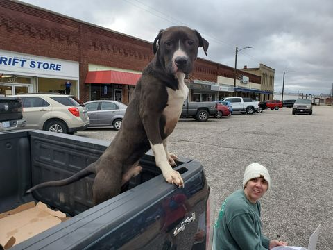 Dog, Canidae, Dog breed, Weimaraner, Great dane, Sporting Group, Carnivore, Fawn, Giant dog breed, Statue,
