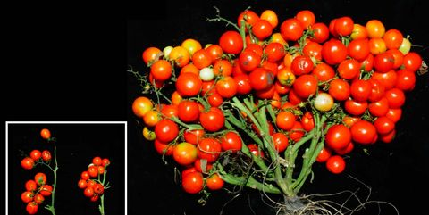 Natural foods, Plant, Solanum, Fruit, Flower, Tomato, Cherry Tomatoes, Flowering plant, Vegetable, Still life photography,