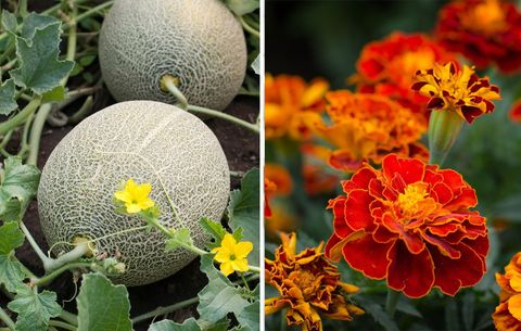 marigolds and melons