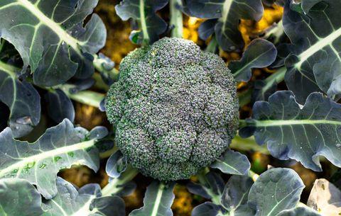 broccoli in high protein garden
