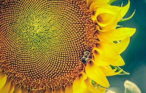 sunflower in high protein garden