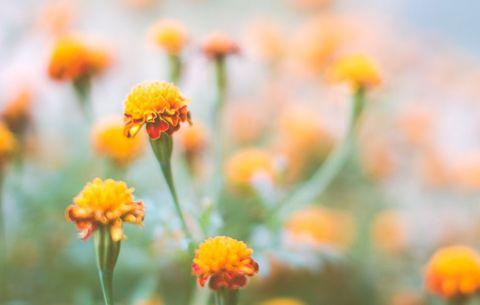 marigolds in an organic flower garden