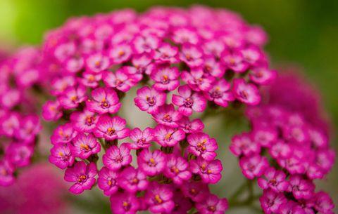 perennial yarrow flower in organic garden