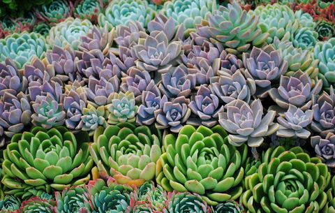 hen and chicks succulents