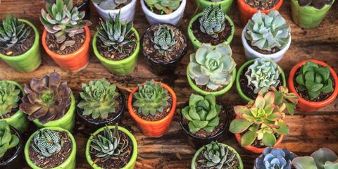 easiest and hardest succulents to grow