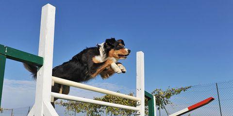 dog agility tricks
