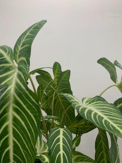 Leaf, Plant, Flower, Houseplant, Botany, Arrowroot family, Terrestrial plant, Alismatales, Flowering plant, Arum family,