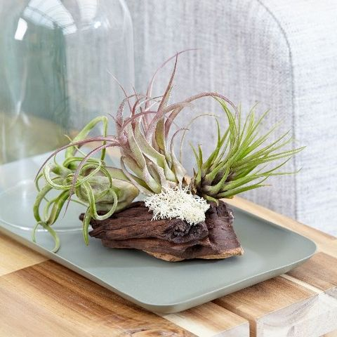 3 air plants on bog wood - £17.99 - RHS