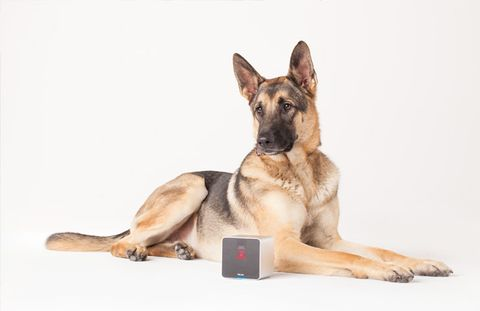 german shepherd and petcube
