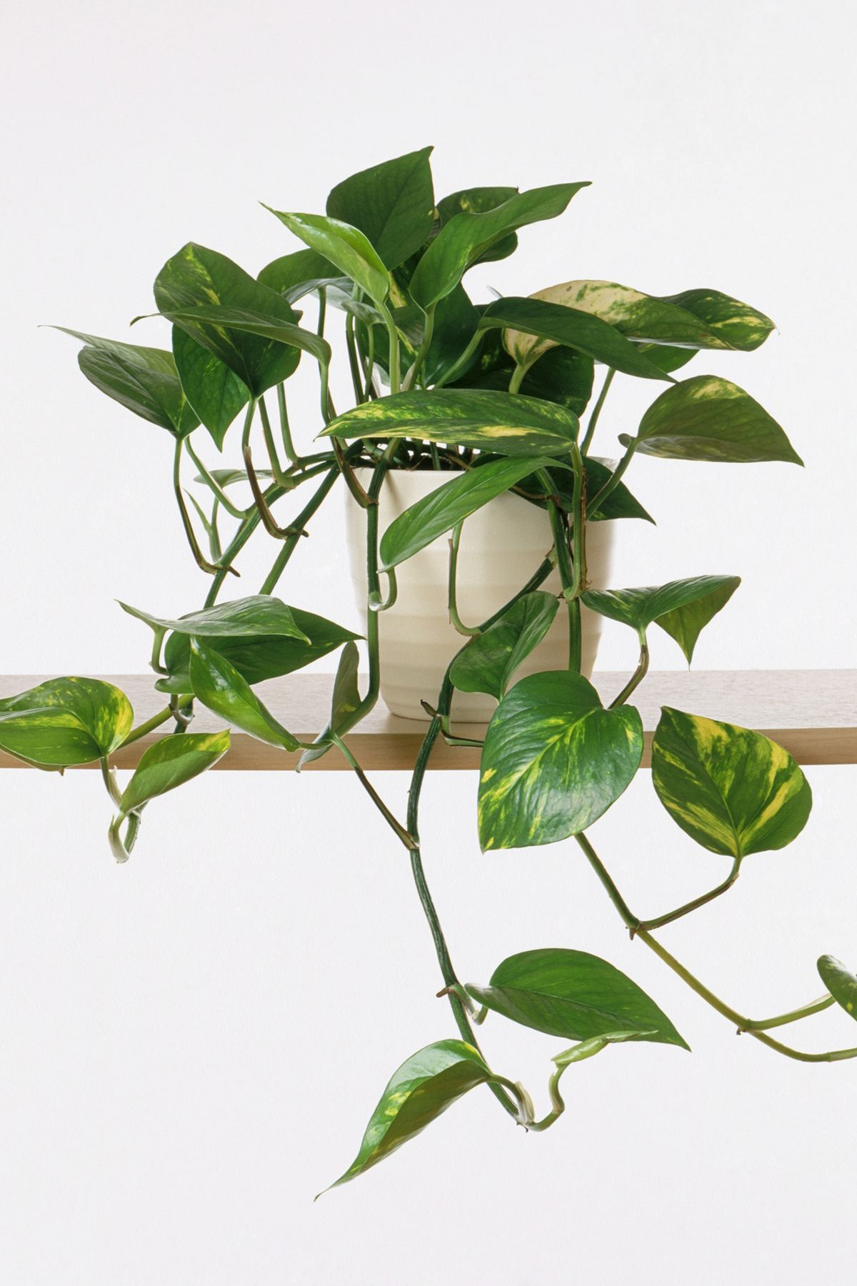 Epipremnum aureum 'Marble Queen' (Devil's ivy) in plant pot on shelf
