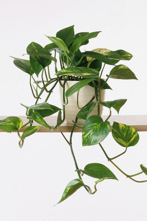 Epipremnum aureum 'Marble Queen' (Devil's ivy) in plant pot on shelf