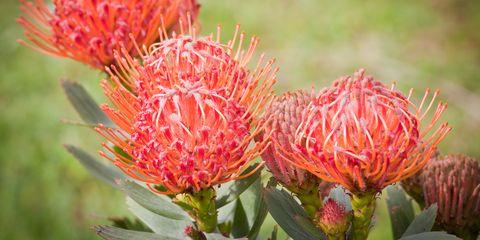Leucospermum cordifolium beauty in nature