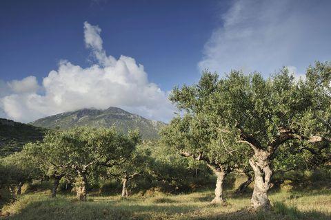Costa-Navarino-The olive groves surrounding Costa Navarino