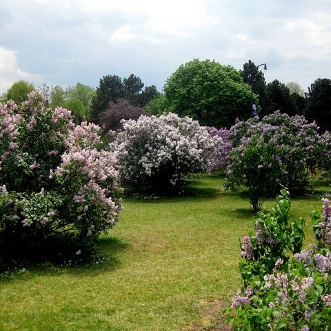 Flower, Garden, Plant, Lilac, Tree, Shrub, Spring, Lilac, Flowering plant, Botany,