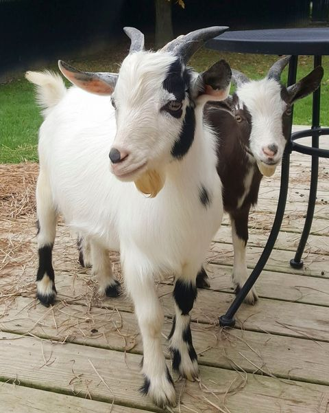 two goats outside next to table