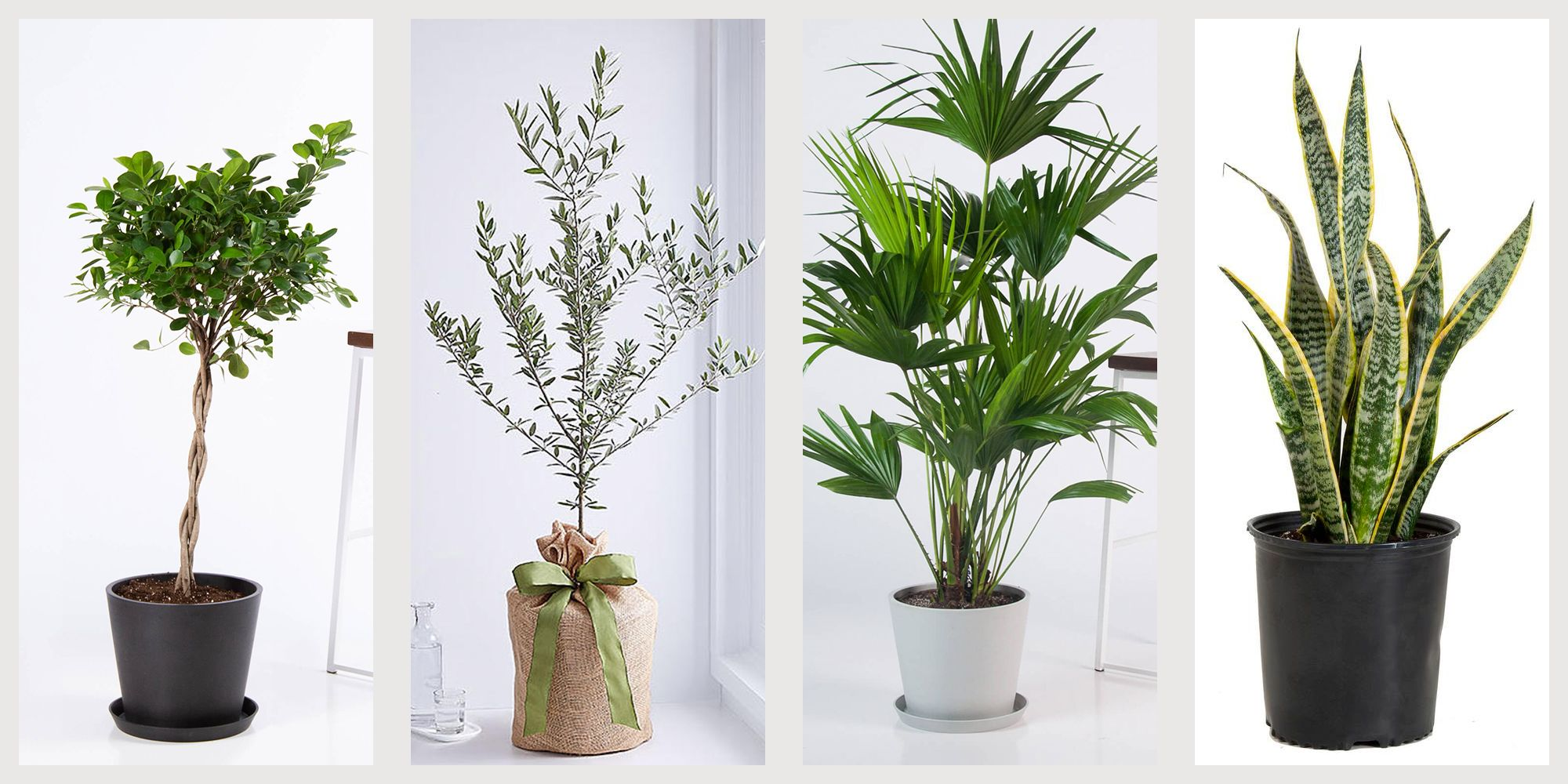 11 Best Indoor Trees To Buy Online Easy Small Trees For Sale