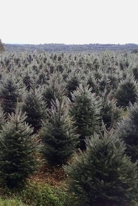 50 Best Christmas Tree Farms In America - Christmas Tree Farms Near Me