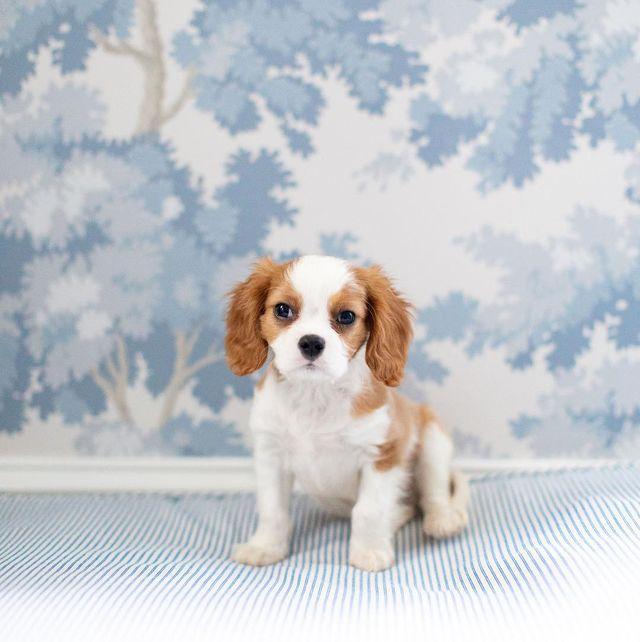 Dog, Mammal, Vertebrate, Canidae, Dog breed, Cavalier king charles spaniel, King charles spaniel, Carnivore, Puppy, Companion dog,