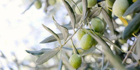 olijven, weetjes