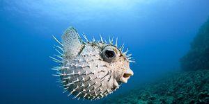 5 motivi per cui il pesce palla è candidato al premio animale cattivo 2015