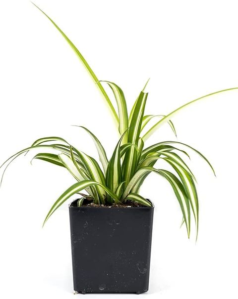 spider plants home plants that help you sleep
