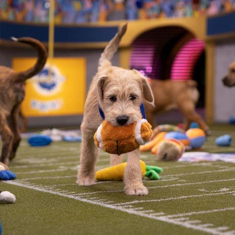 Dog, Mammal, Vertebrate, Canidae, Dog breed, Carnivore, Conformation show, Puppy, Irish terrier, Companion dog,