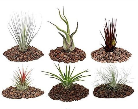 6 different Tillandsia Set - Amazon