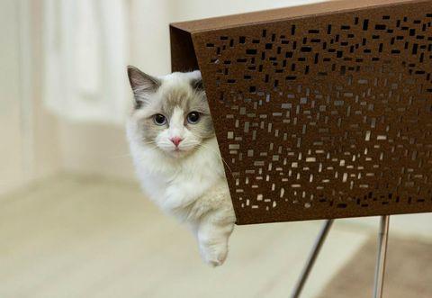 Cat, Mammal, Small to medium-sized cats, Felidae, Whiskers, Carnivore, Domestic short-haired cat, Ragdoll, Kitten, British semi-longhair,