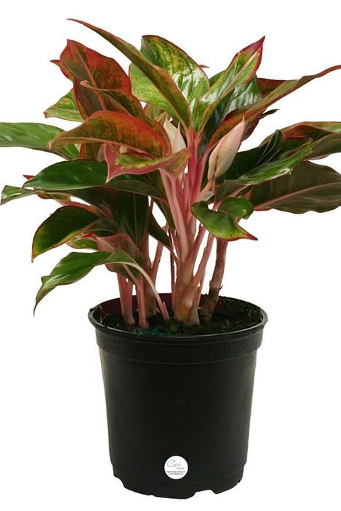 12 houseplants that can survive low light best indoor low light plants. Black Bedroom Furniture Sets. Home Design Ideas