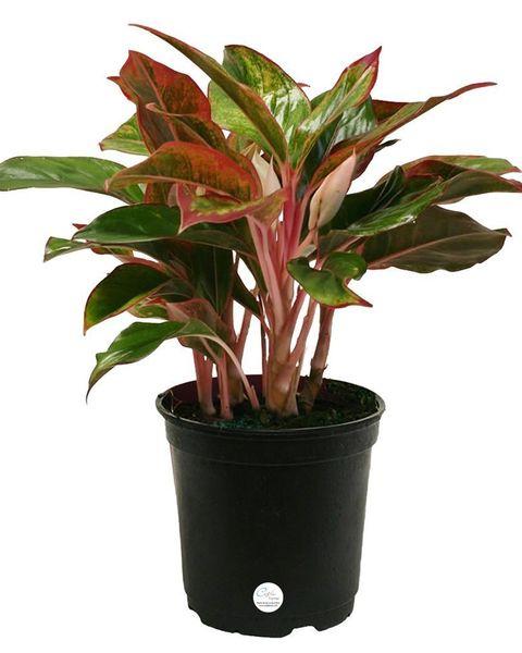 Flower, Flowering plant, Flowerpot, Plant, Houseplant, Ti plant, Terrestrial plant, Leaf, Herb, Anthurium,
